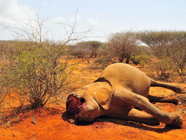 poaching elephants for ivory Leveraging the power of media to save the elephant.